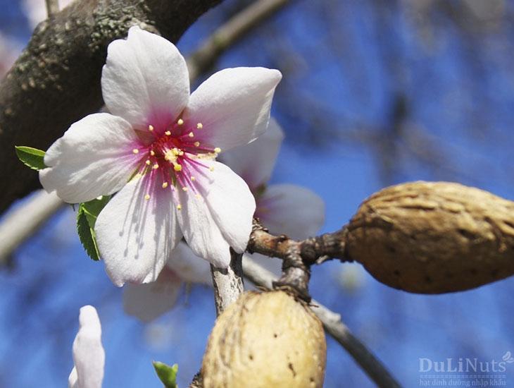 Cây hạnh nhân nở hoa
