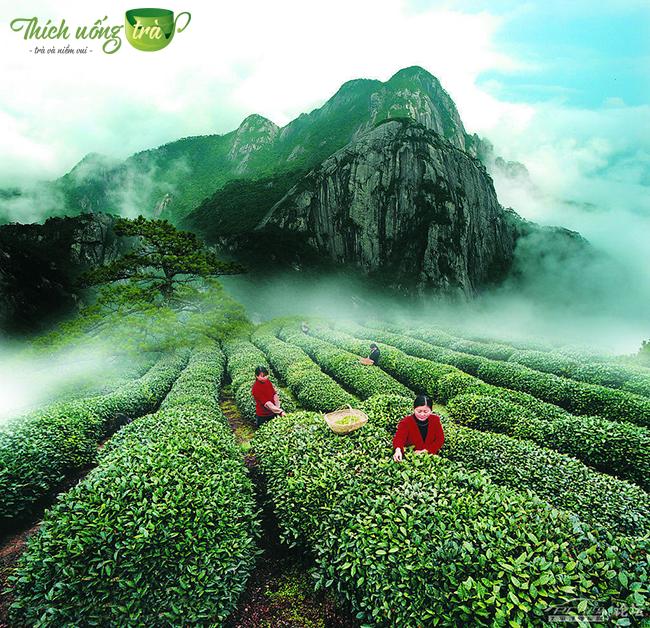 Vũ Di Nham trà được nuôi dưỡng với khí hậu đặc biệt