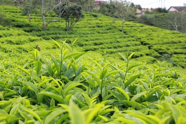 Các loại danh trà nổi tiếng từ xưa đến nay