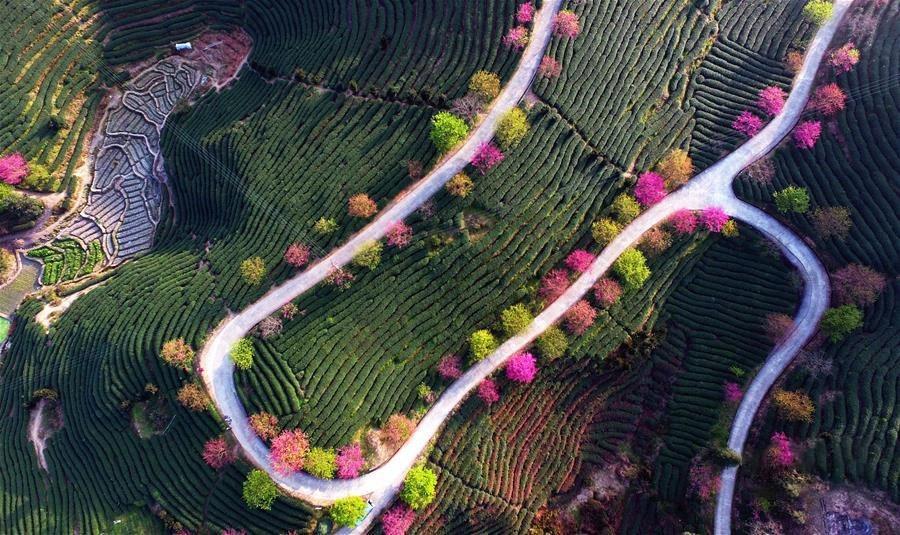 đất trồng trà ngon