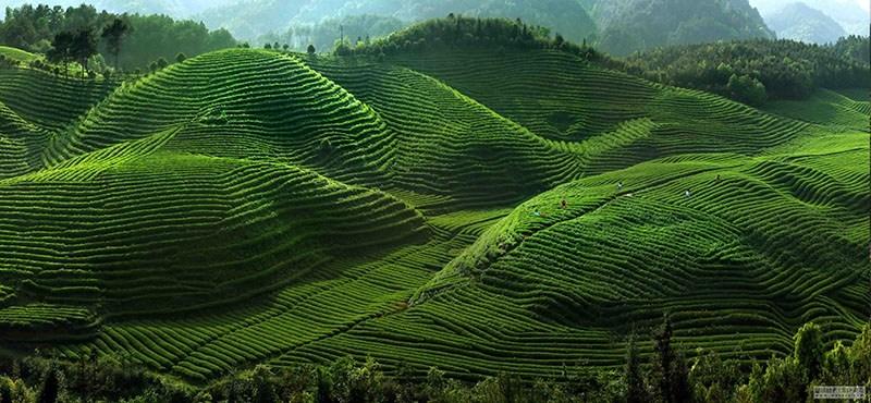 kiến thức trồng trà không ngừng được cải thiện