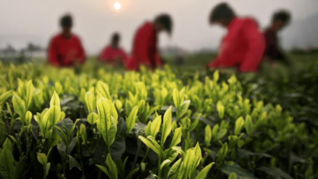 phân biệt chất lượng trà trắng an cát