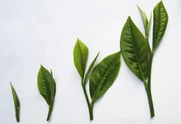 phân cấp loại trà long tỉnh tây hồ