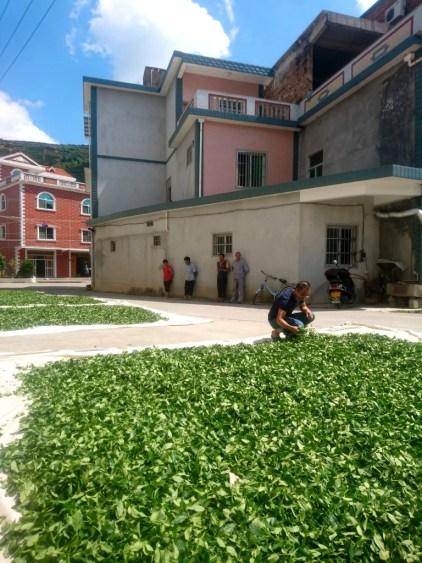 Quy trình sản xuất trà Thiết Quan Âm ở An Khê 1