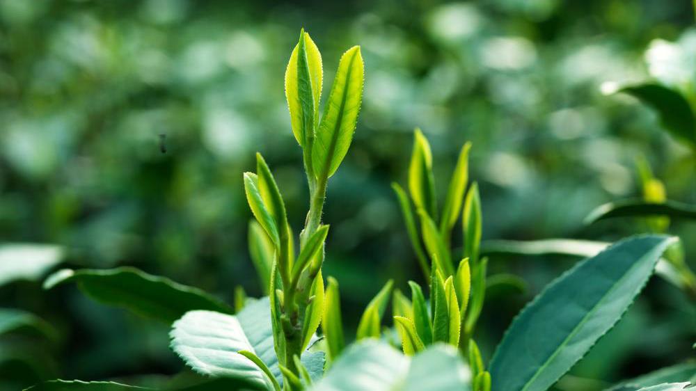 thu hoạch trà long tỉnh khi búp trà đạt kích thước chuẩn