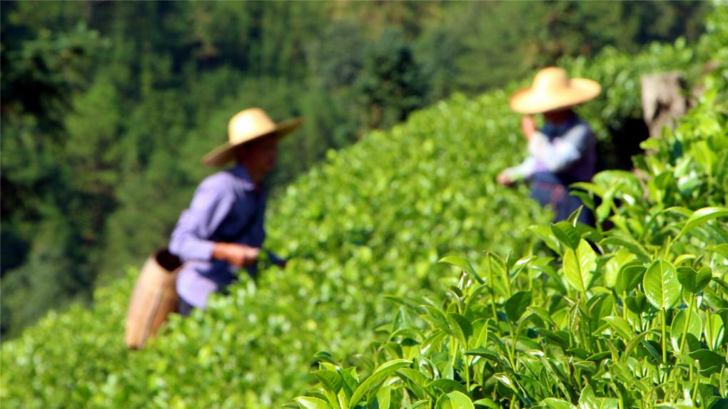thu hoạch trà long tỉnh với thời gian chuẩn