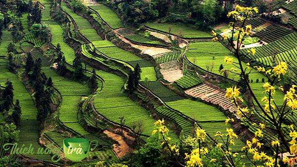 khu vực trồng trà ân thi ngọc lộ
