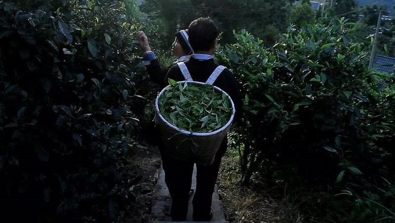 trà xanh trồng trên núi cao