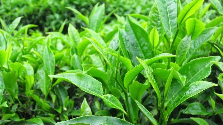 Các tác dụng của trà xanh và nên nấu trà xanh như thế nào cho đúng 2